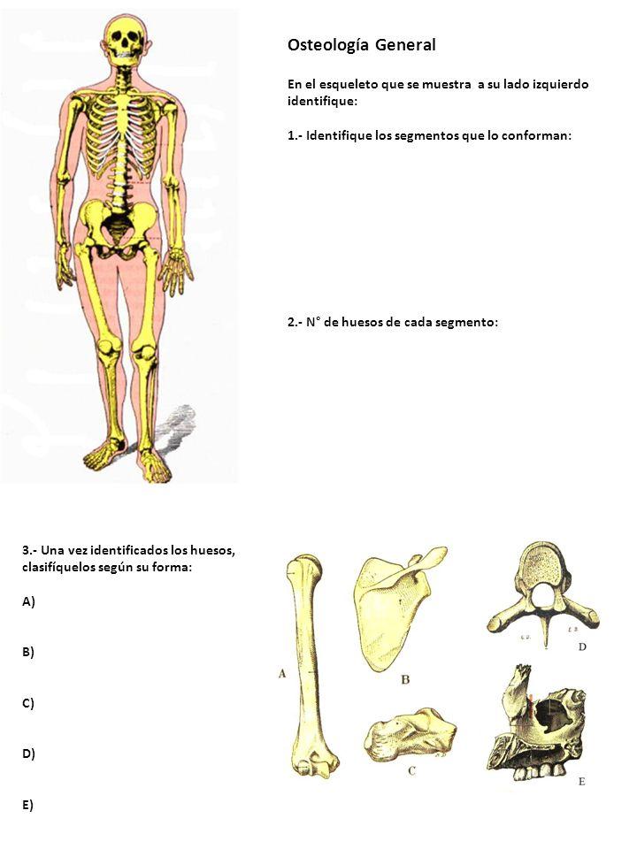 Osteología General En el esqueleto que se muestra a su lado izquierdo identifique: 1.- Identifique los segmentos que lo conforman: 2.- N° de huesos de