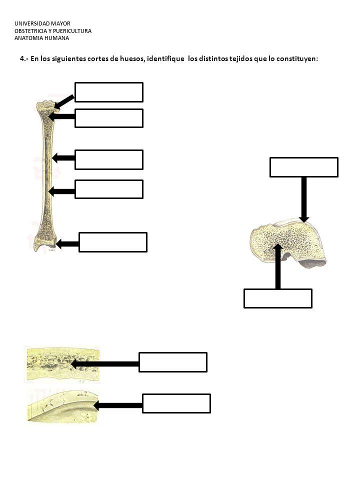 4.- En los siguientes cortes de huesos, identifique los distintos tejidos que lo constituyen: UNIVERSIDAD MAYOR OBSTETRICIA Y PUERICULTURA ANATOMIA HU