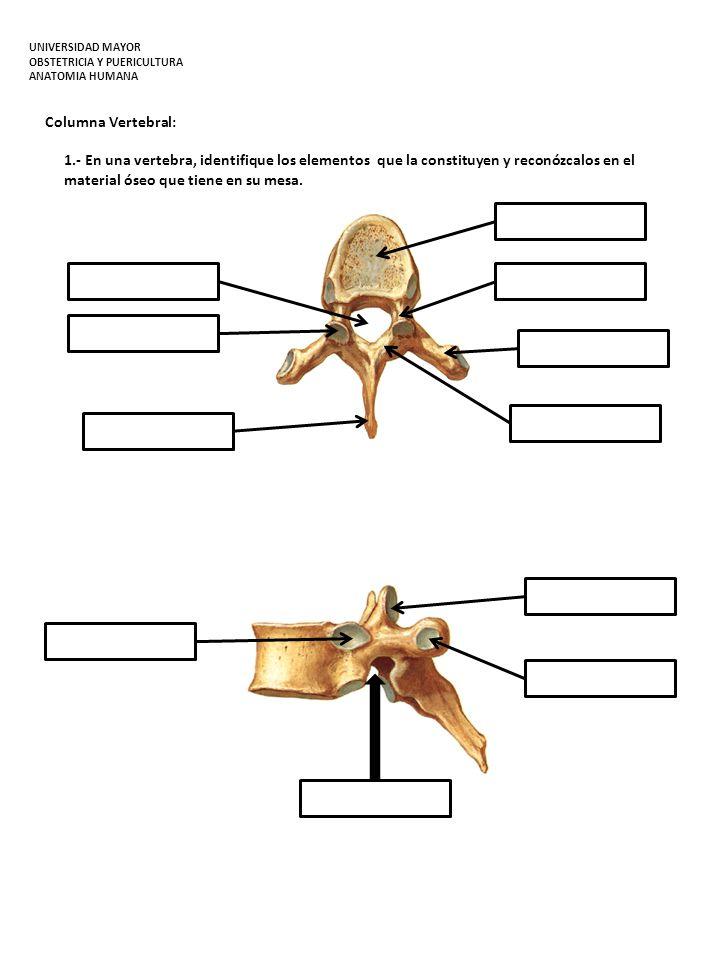 Columna Vertebral: 1.- En una vertebra, identifique los elementos que la constituyen y reconózcalos en el material óseo que tiene en su mesa. UNIVERSI