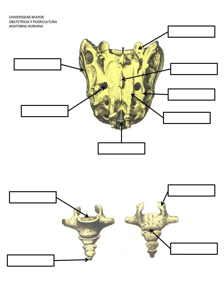 4.- Observe la primera y segunda vértebra cervical destacando las diferencias con las vértebras antes estudiadas.