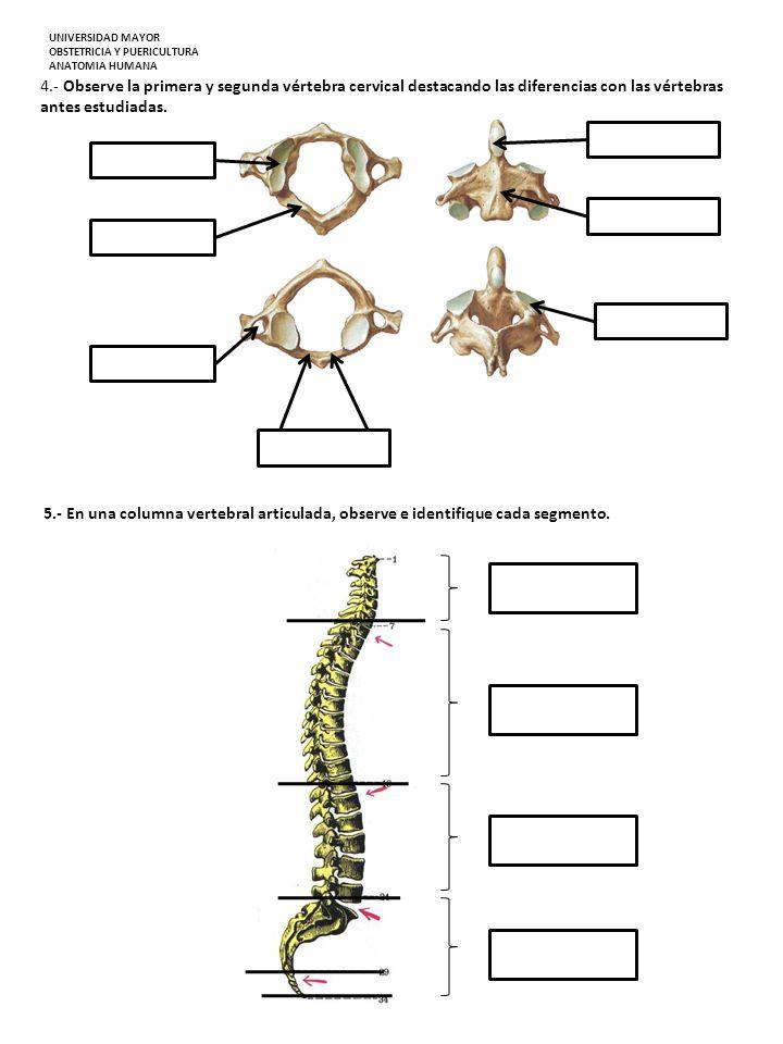 4.- Observe la primera y segunda vértebra cervical destacando las diferencias con las vértebras antes estudiadas. 5.- En una columna vertebral articul