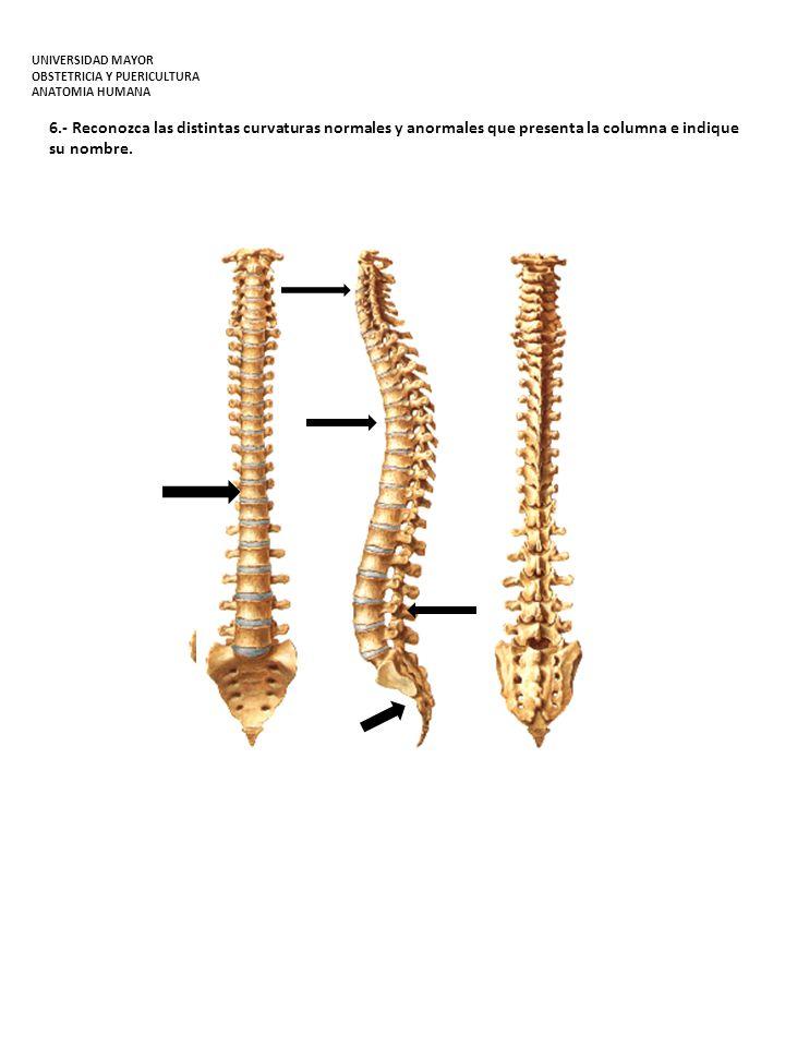 7.- En la constitución del Tórax señale e identifíquelos en el esqueleto: UNIVERSIDAD MAYOR OBSTETRICIA Y PUERICULTURA ANATOMIA HUMANA