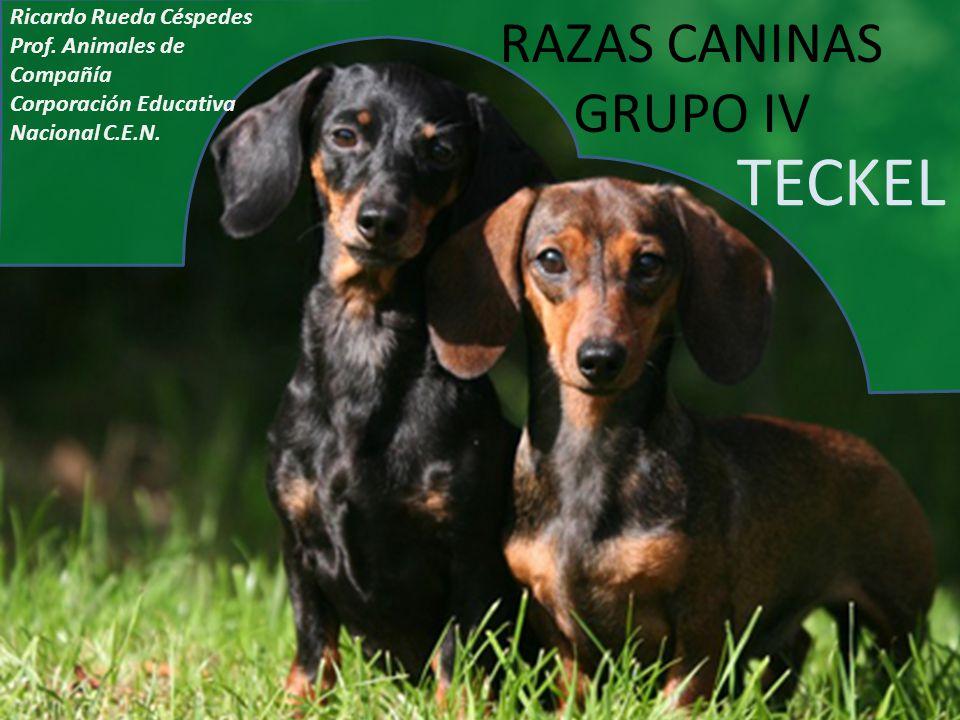 RAZAS CANINAS GRUPO IV TECKEL Ricardo Rueda Céspedes Prof. Animales de Compañía Corporación Educativa Nacional C.E.N.