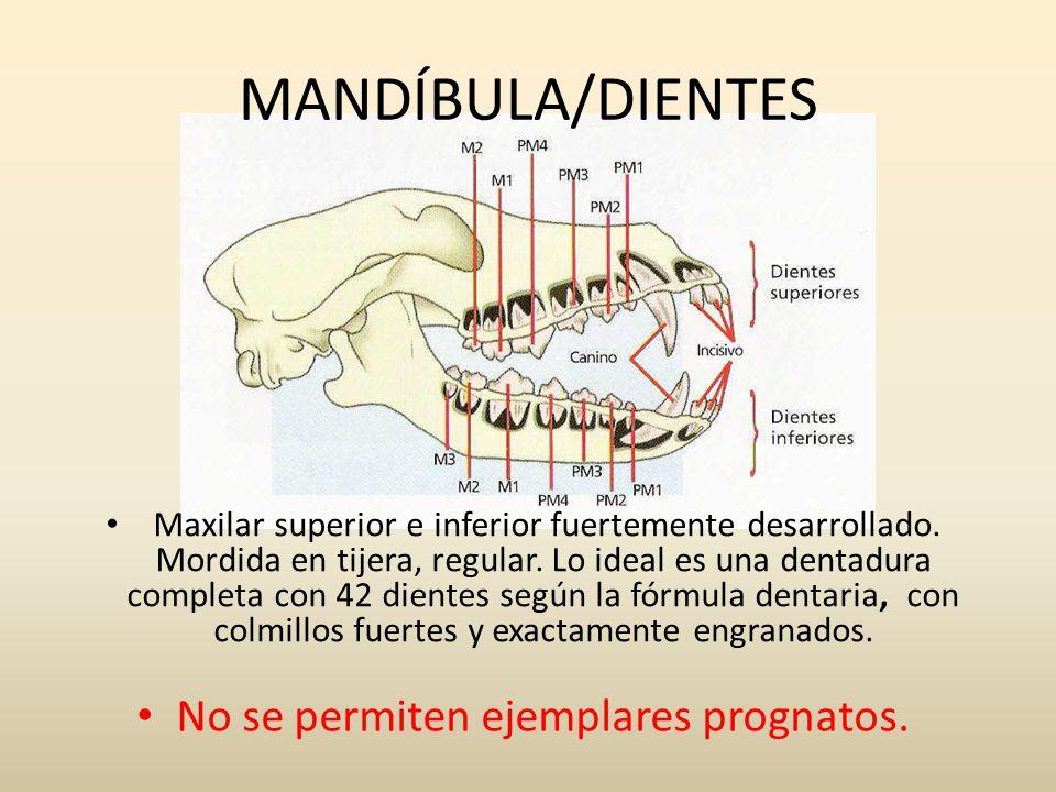 MANDÍBULA/DIENTES Maxilar superior e inferior fuertemente desarrollado. Mordida en tijera, regular. Lo ideal es una dentadura completa con 42 dientes