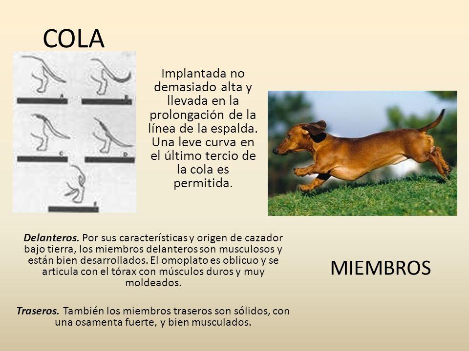 COLA Implantada no demasiado alta y llevada en la prolongación de la línea de la espalda. Una leve curva en el último tercio de la cola es permitida.