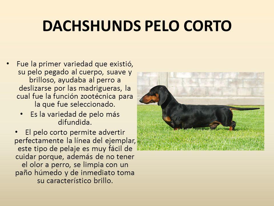 DACHSHUNDS PELO CORTO Fue la primer variedad que existió, su pelo pegado al cuerpo, suave y brilloso, ayudaba al perro a deslizarse por las madriguera