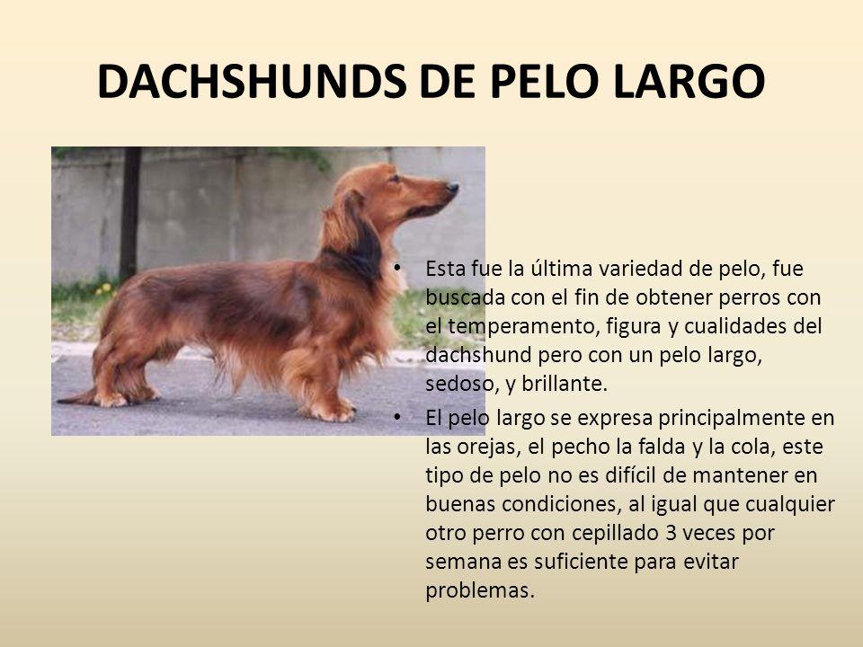 DACHSHUNDS DE PELO LARGO Esta fue la última variedad de pelo, fue buscada con el fin de obtener perros con el temperamento, figura y cualidades del da
