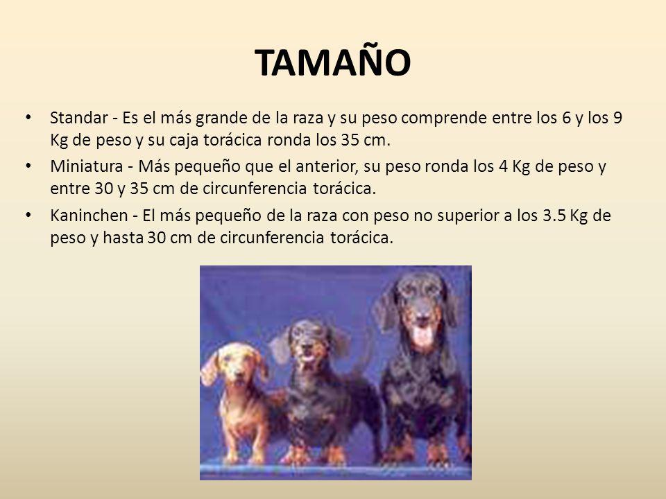 TAMAÑO Standar - Es el más grande de la raza y su peso comprende entre los 6 y los 9 Kg de peso y su caja torácica ronda los 35 cm. Miniatura - Más pe