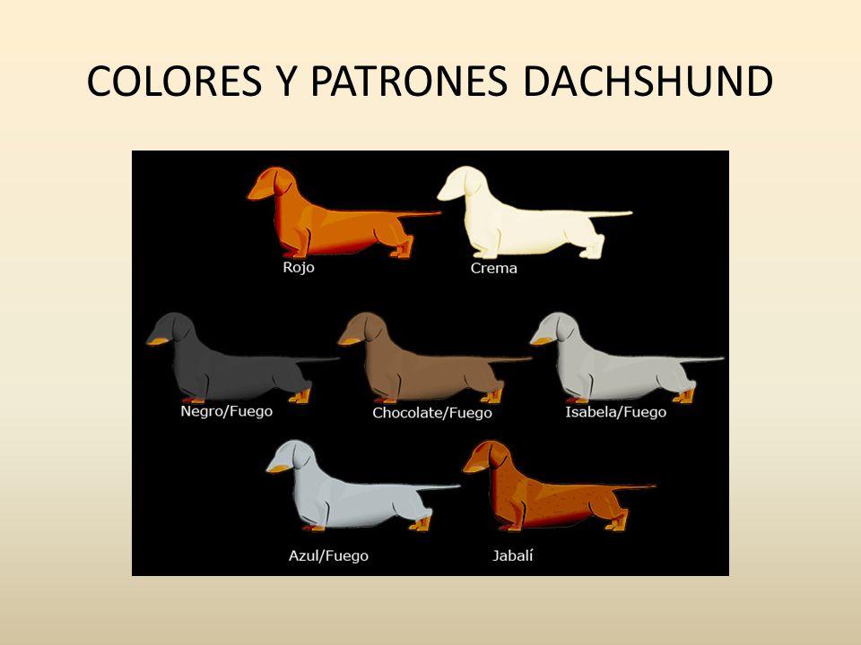 COLORES Y PATRONES DACHSHUND