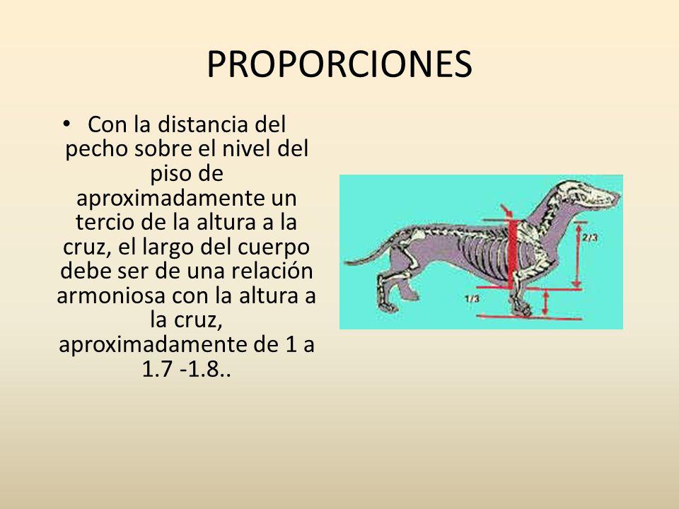 PROPORCIONES Con la distancia del pecho sobre el nivel del piso de aproximadamente un tercio de la altura a la cruz, el largo del cuerpo debe ser de u