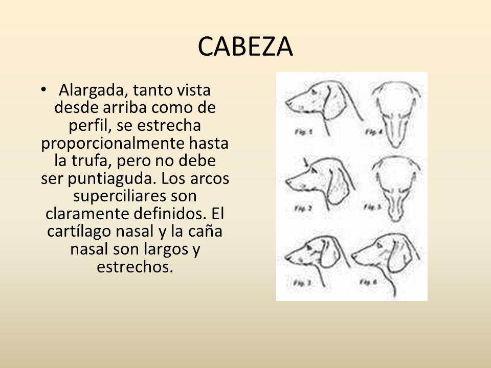 CABEZA Alargada, tanto vista desde arriba como de perfil, se estrecha proporcionalmente hasta la trufa, pero no debe ser puntiaguda. Los arcos superci