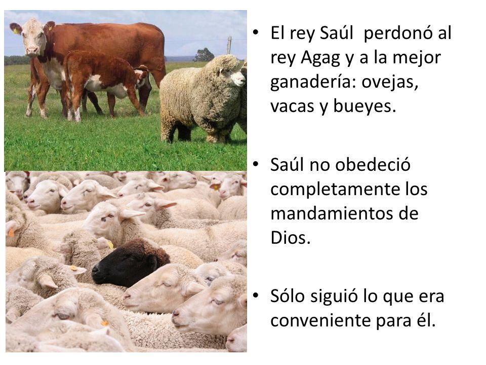 El rey Saúl perdonó al rey Agag y a la mejor ganadería: ovejas, vacas y bueyes. Saúl no obedeció completamente los mandamientos de Dios. Sólo siguió l