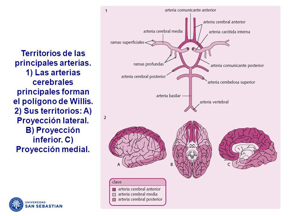 Territorios de las principales arterias. 1) Las arterias cerebrales principales forman el polígono de Willis. 2) Sus territorios: A) Proyección latera