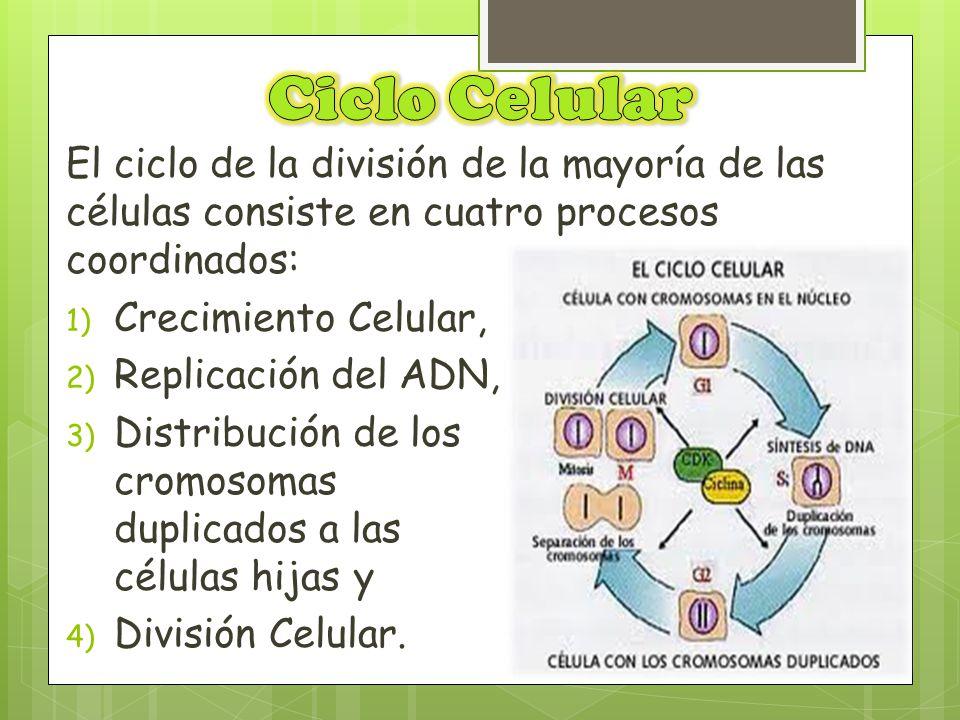 El ciclo de la división de la mayoría de las células consiste en cuatro procesos coordinados: 1) Crecimiento Celular, 2) Replicación del ADN, 3) Distr