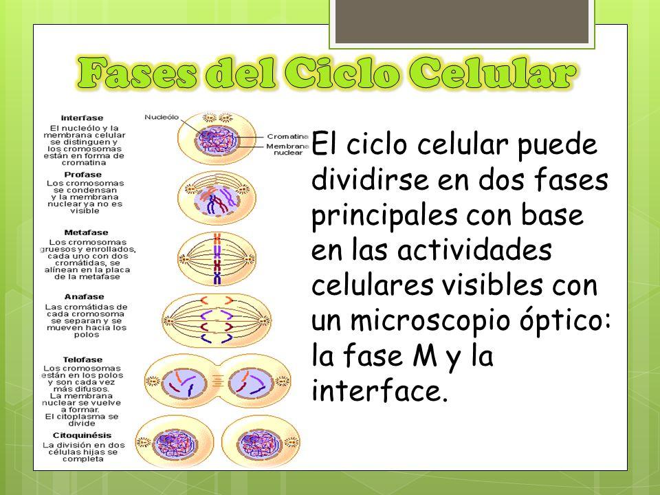 El ciclo celular puede dividirse en dos fases principales con base en las actividades celulares visibles con un microscopio óptico: la fase M y la int