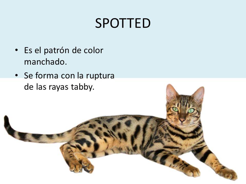 SPOTTED Es el patrón de color manchado. Se forma con la ruptura de las rayas tabby.