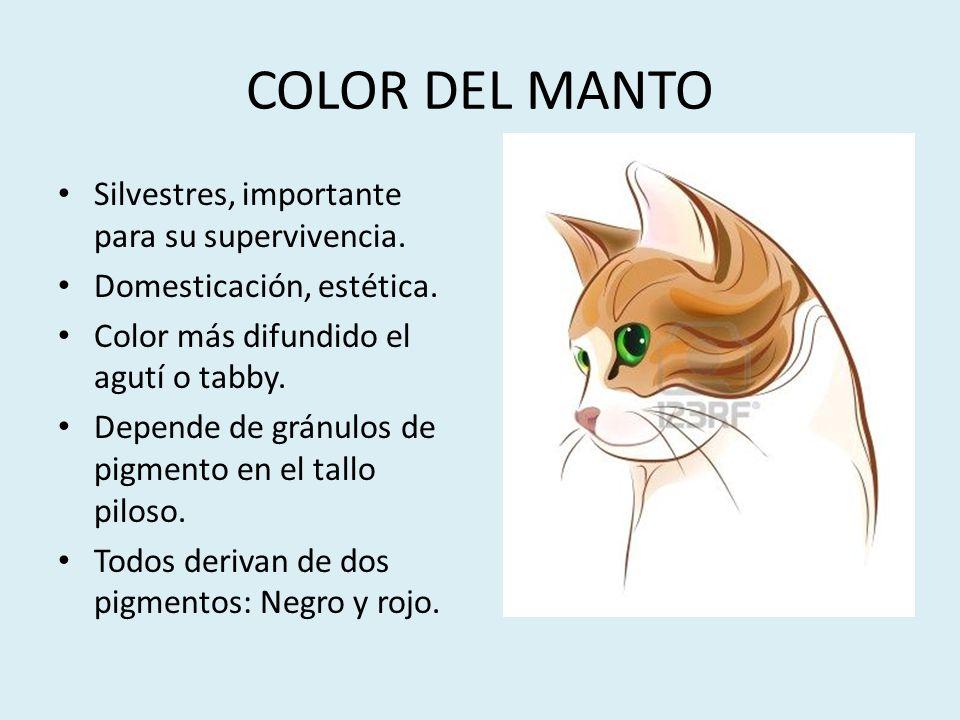 COLOR DEL MANTO Silvestres, importante para su supervivencia. Domesticación, estética. Color más difundido el agutí o tabby. Depende de gránulos de pi