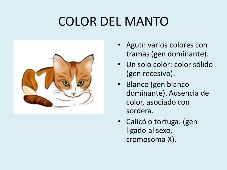 COLOR DEL MANTO Agutí: varios colores con tramas (gen dominante). Un solo color: color sólido (gen recesivo). Blanco (gen blanco dominante). Ausencia