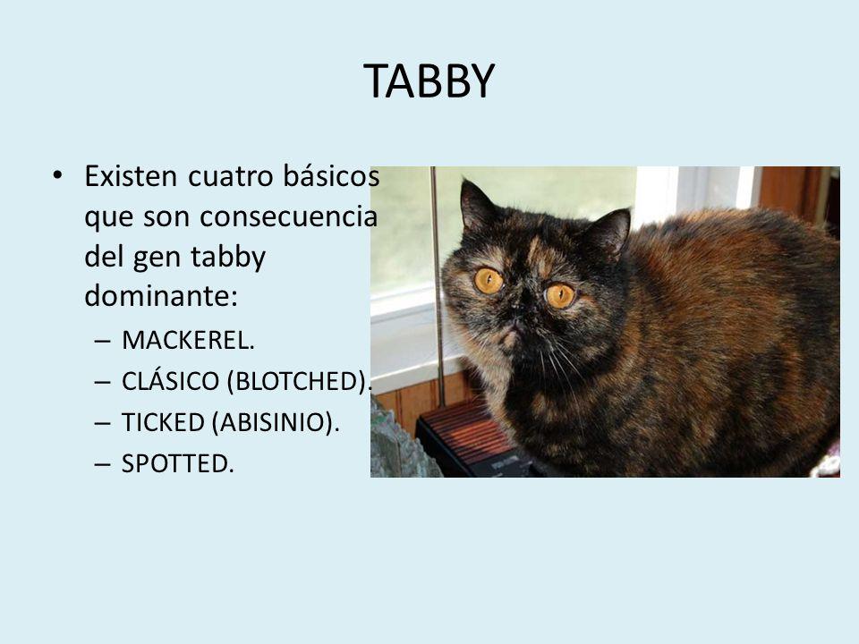 TABBY Existen cuatro básicos que son consecuencia del gen tabby dominante: – MACKEREL. – CLÁSICO (BLOTCHED). – TICKED (ABISINIO). – SPOTTED.