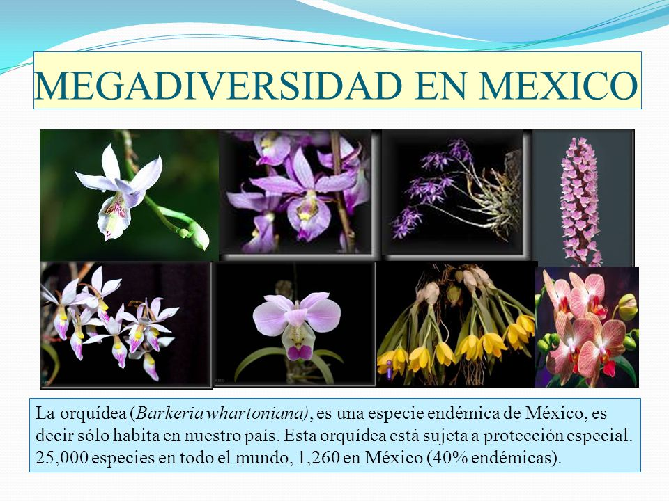 MEGADIVERSIDAD EN MEXICO La orquídea (Barkeria whartoniana), es una especie endémica de México, es decir sólo habita en nuestro país. Esta orquídea es