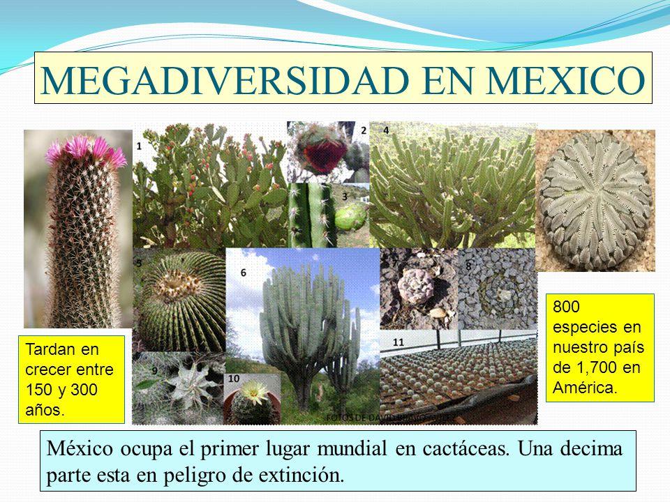 MEGADIVERSIDAD EN MEXICO México ocupa el primer lugar mundial en cactáceas. Una decima parte esta en peligro de extinción. Tardan en crecer entre 150