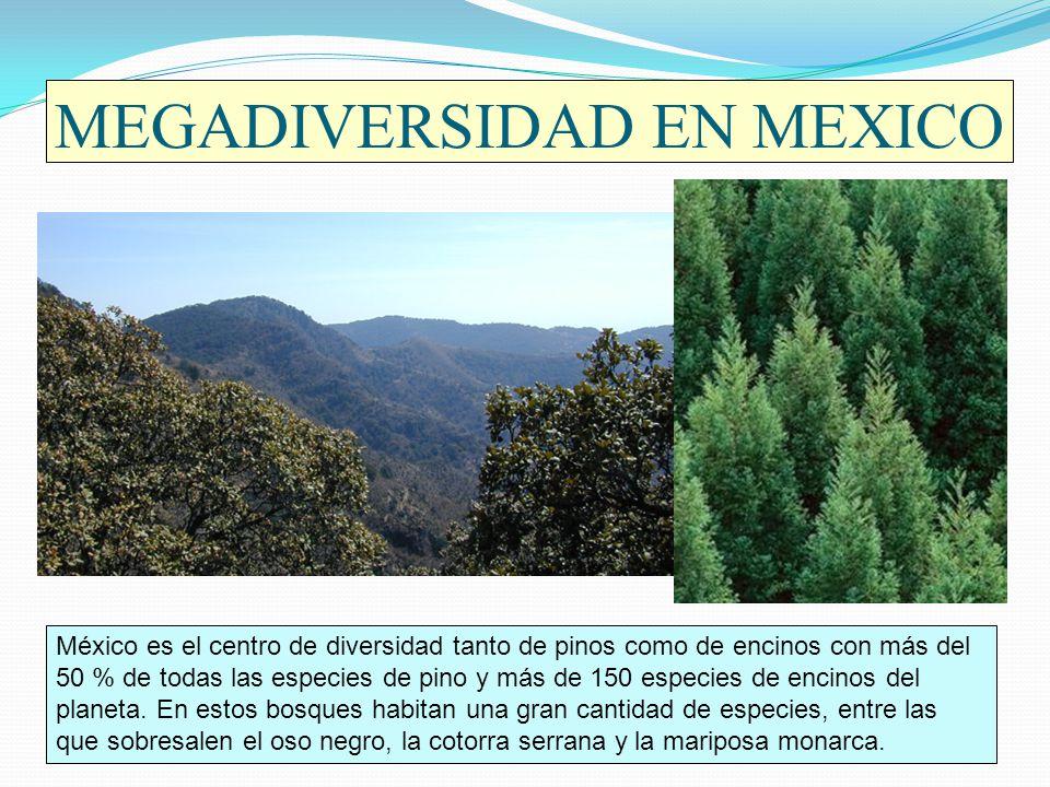 MEGADIVERSIDAD EN MEXICO México es el centro de diversidad tanto de pinos como de encinos con más del 50 % de todas las especies de pino y más de 150