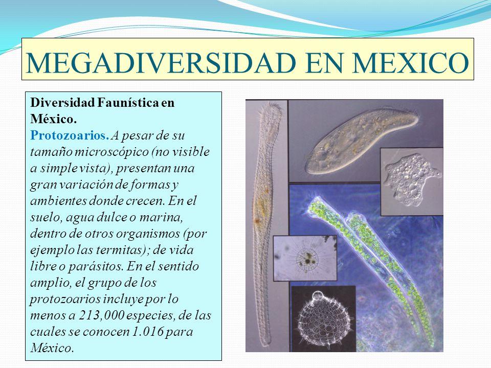 MEGADIVERSIDAD EN MEXICO Diversidad Faunística en México. Protozoarios. A pesar de su tamaño microscópico (no visible a simple vista), presentan una g