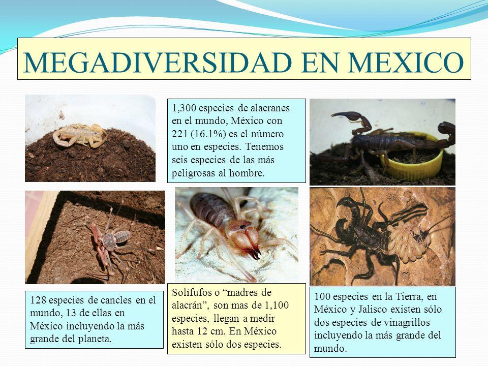 MEGADIVERSIDAD EN MEXICO 1,300 especies de alacranes en el mundo, México con 221 (16.1%) es el número uno en especies. Tenemos seis especies de las má