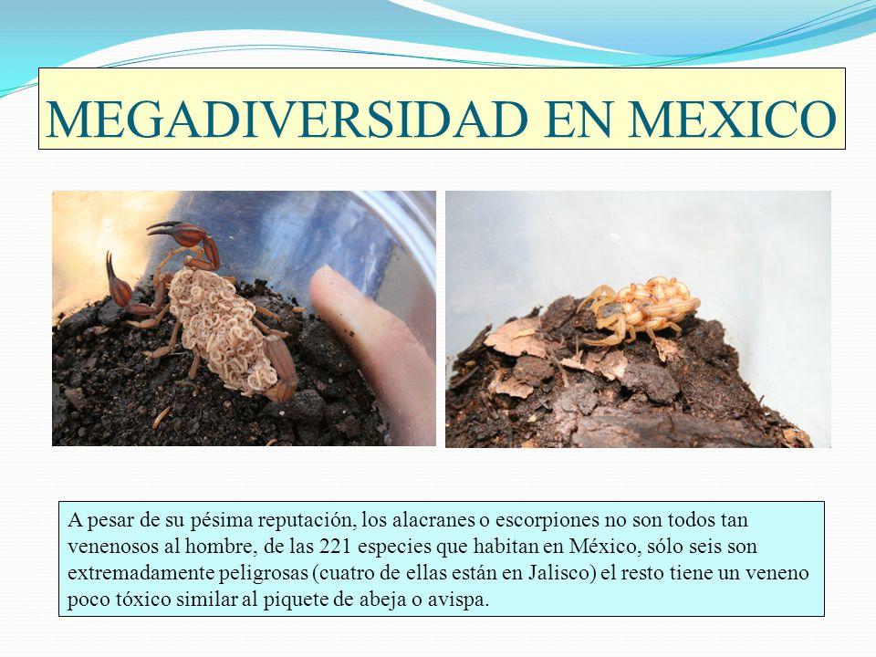 MEGADIVERSIDAD EN MEXICO A pesar de su pésima reputación, los alacranes o escorpiones no son todos tan venenosos al hombre, de las 221 especies que ha
