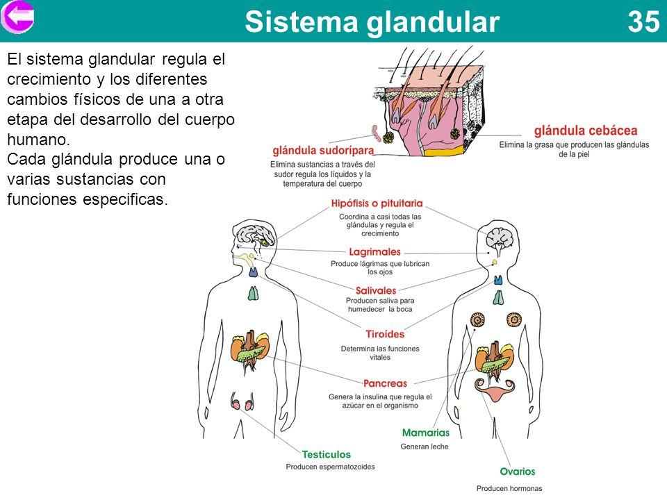 Sistema glandular 35 El sistema glandular regula el crecimiento y los diferentes cambios físicos de una a otra etapa del desarrollo del cuerpo humano.