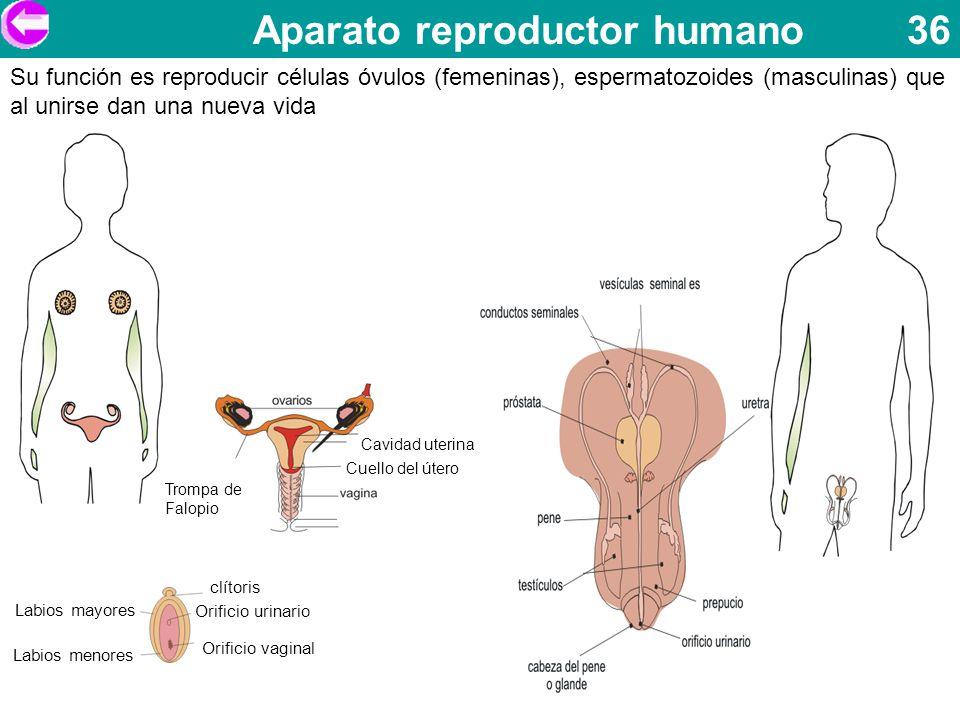 Aparato reproductor humano 36 Su función es reproducir células óvulos (femeninas), espermatozoides (masculinas) que al unirse dan una nueva vida clíto