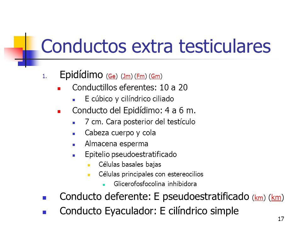 16 Conductos intra testiculares (e)e Túbulos rectos Rodeados por Sertoli al inicio Cuboide simple en la 2a mitad Abundantes microvellosidades 1 flagel