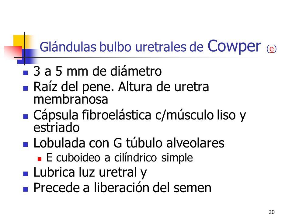 19 Próstata (L) (Ge) (Ge)LGe Glándula accesoria mayor Cápsula fibroelástica vascularizada Estroma muscular fibroelástico 30 a 50 g túbuloalveolares co