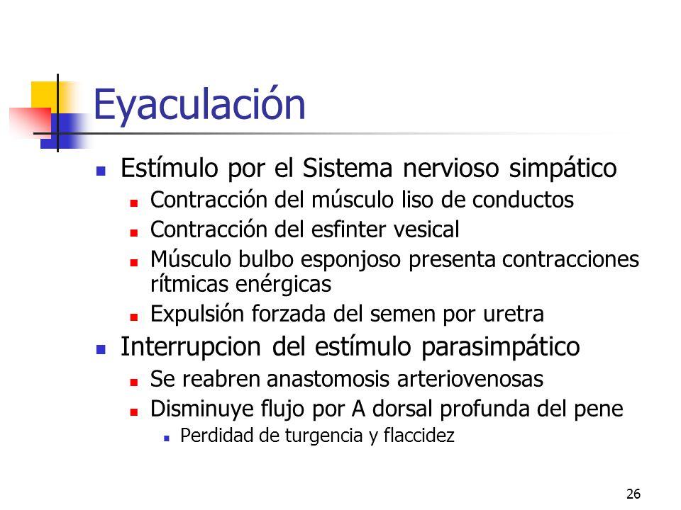 25 Erección (Ge)Ge Reposo o flaccidez Flujo de arterias a venas por anastomosis Erección Estímulo Parasimpático Oxido nítrico local Relajación de las