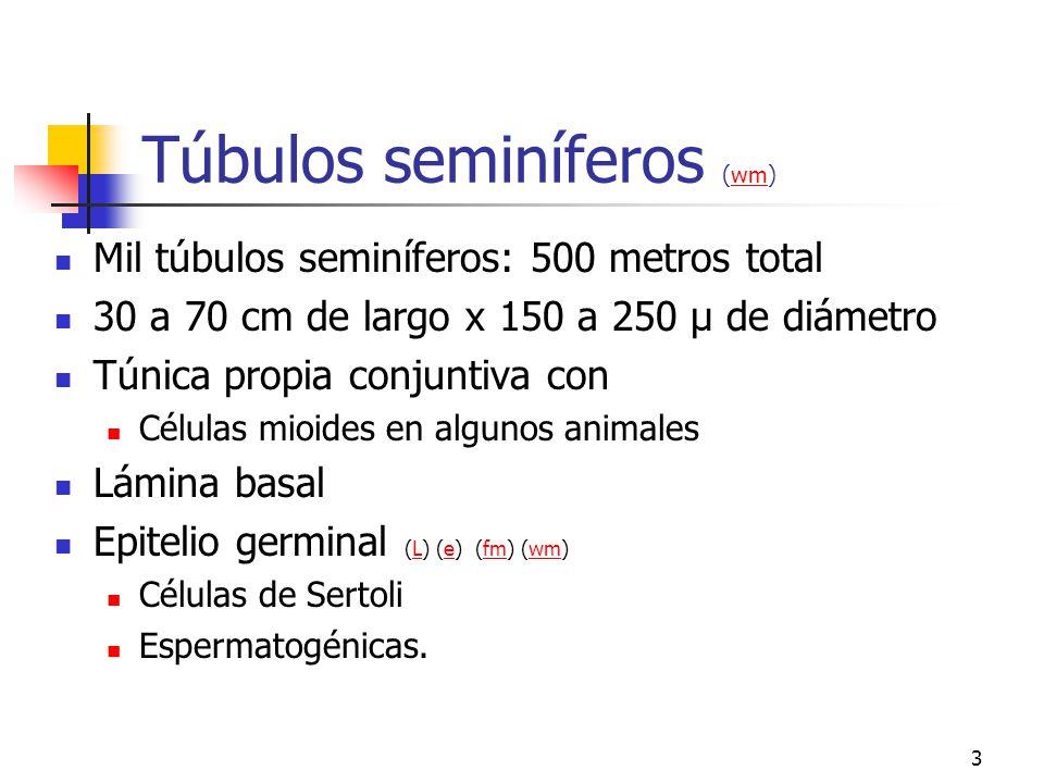2 Testículos. Ovoides 4 x 3 x 3 cm (e) (wg) (wg)ewg 250 compartimientos o lobulillos 4 túbulos seminíferos Células intersticiales de Leydig (fm)fm Tún