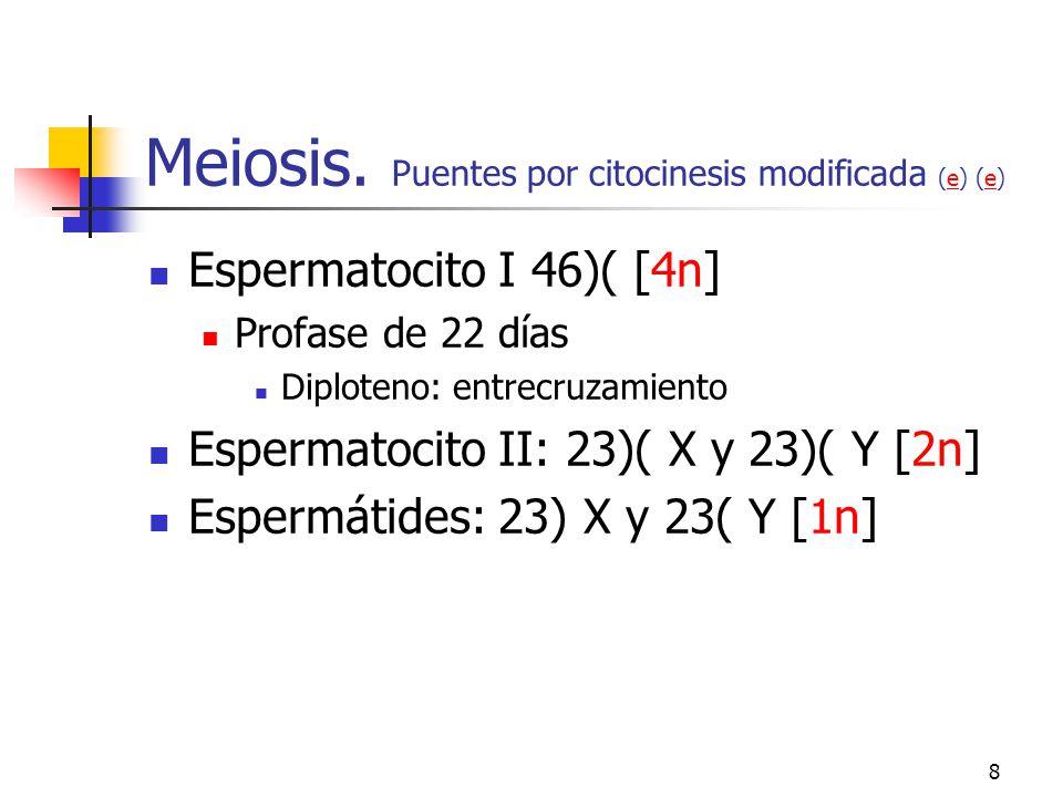 7 Espermatocitogénesis (e)e Espermatogonias. Citocinesis modificada (t) (e)te Oscuras de tipo A Pequeñas (12 μ) y basales Oscuras de tipo A Claras de