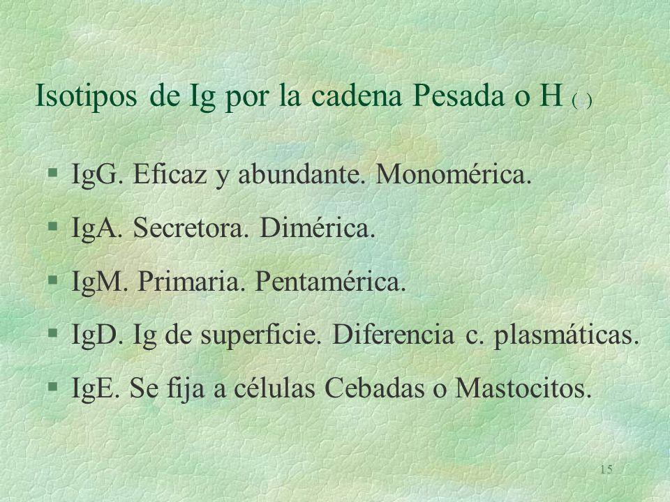 14 Ac o Ig.Características. (e)e §Fab: superior de la Y.