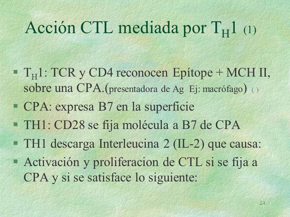 23 RIHumoral mediada por T Cooperadoras oT H 2 (e)e §LB fija Ag con sus Igs §Internaliza Ag/Ac y elimina Epítope §Fija Epítope a MCH II §Presenta Epítope y MCH II a célula T H 2 §T H 2 reconoce Epítope con su TCR y MCH II con CD4 §T H 2: receptor CD40 se fija a CD40 de LB §T H 2 descarga interLeucinas 4, 5 y 6 que: §Diferencían B: l Células Plasmáticas l células B de Memoria.