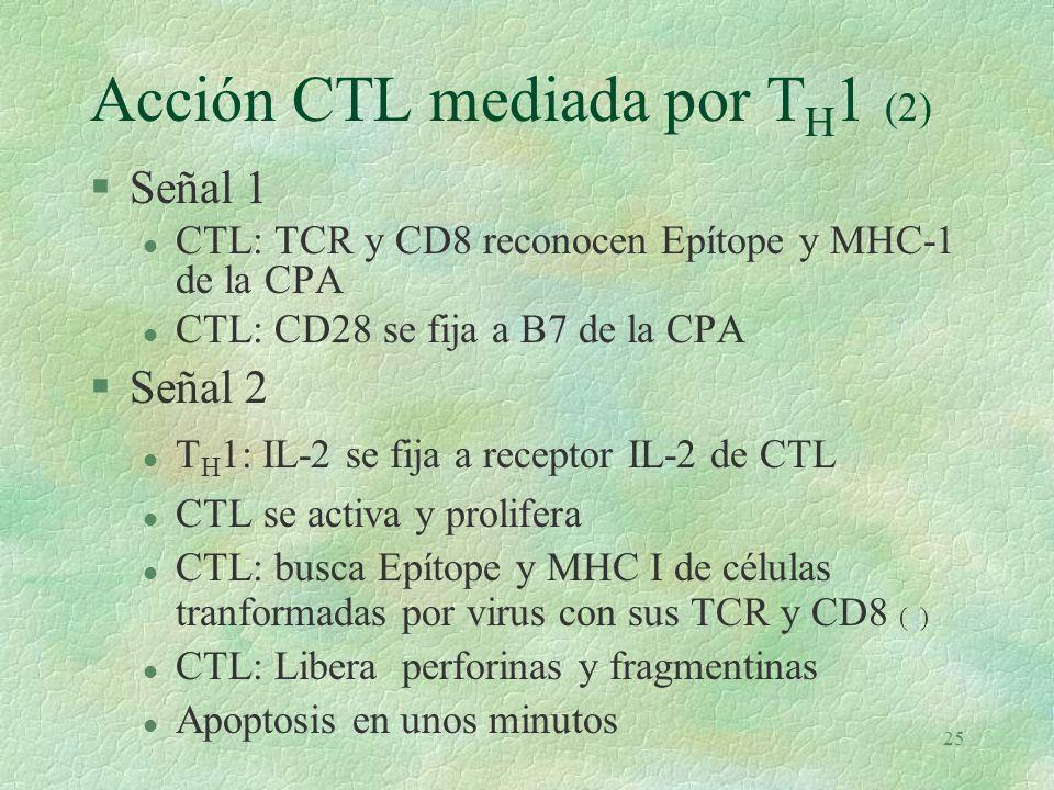 24 Acción CTL mediada por T H 1 (1) §T H 1: TCR y CD4 reconocen Epítope + MCH II, sobre una CPA.( presentadora de Ag Ej: macrófago ) (e)e §CPA: expresa B7 en la superficie §TH1: CD28 se fija molécula a B7 de CPA §TH1 descarga Interleucina 2 (IL-2) que causa: §Activación y proliferacion de CTL si se fija a CPA y si se satisface lo siguiente: