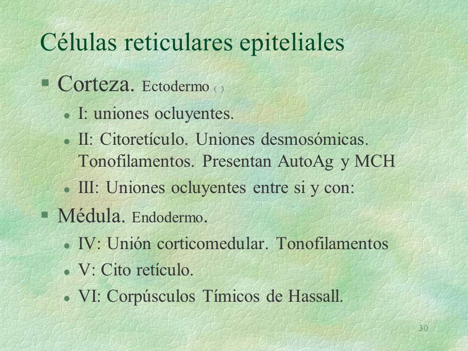 29 Timo (e)e §Órgano linfoide retro esternal §Bilobulado (u)u §3a bolsa y 4a. Timocitos de Mesodermo. §35 a 40 gramos en la pubertad §Tiene cortical y