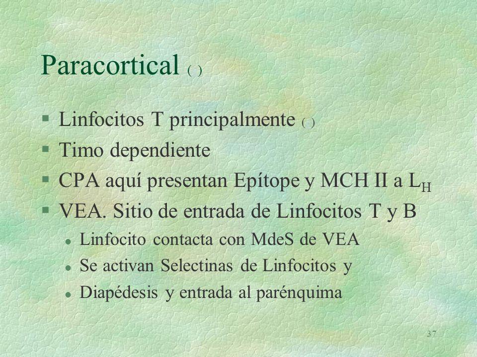 36 Cortical de GLI (L)L §Nódulo Linfoide (Folículo Linfoide). l Primarios. LB virgenes y de Memoria. Manto Secundarios o centros germinativos. –Zona o