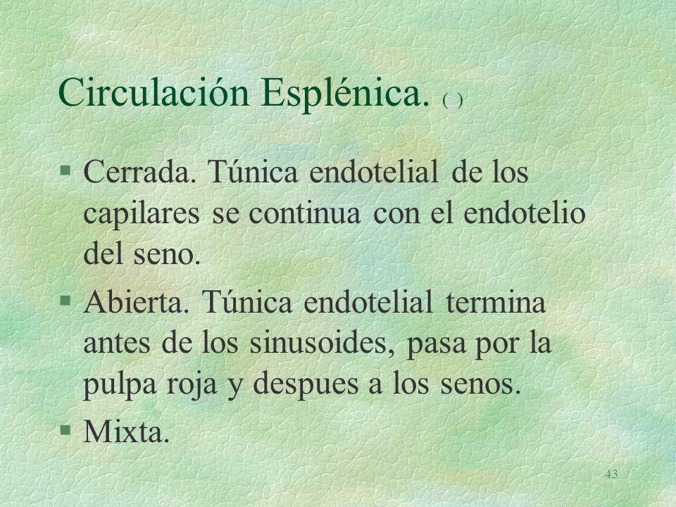 42 Bazo. Elementos §Linfocitos B (foliculares) (um) (m) y c plasmáticas (L)ummL §Linfocitos T (periarteriolares) §Células reticulares §Macrófagos. §C