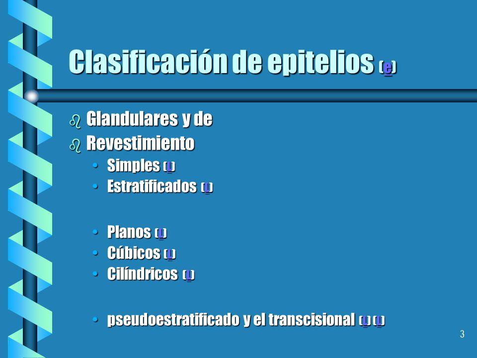 3 Clasificación de epitelios (e) e b Glandulares y de b Revestimiento Simples (L)Simples (L)L Estratificados (L)Estratificados (L)L Planos (L)Planos (L)L Cúbicos (L)Cúbicos (L)L Cilíndricos (L)Cilíndricos (L)L pseudoestratificado y el transcisional (L) (L)pseudoestratificado y el transcisional (L) (L)L