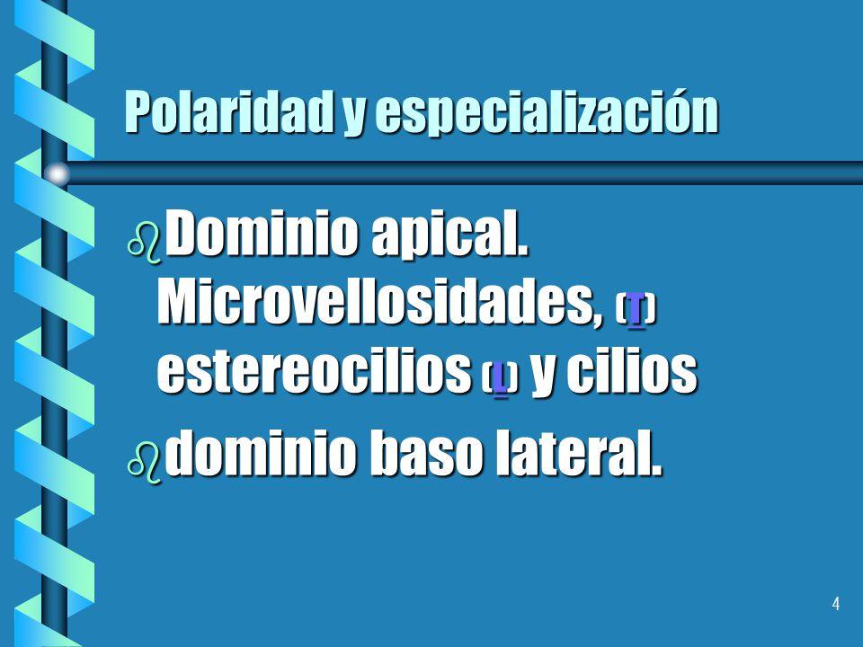 4 Polaridad y especialización b Dominio apical.