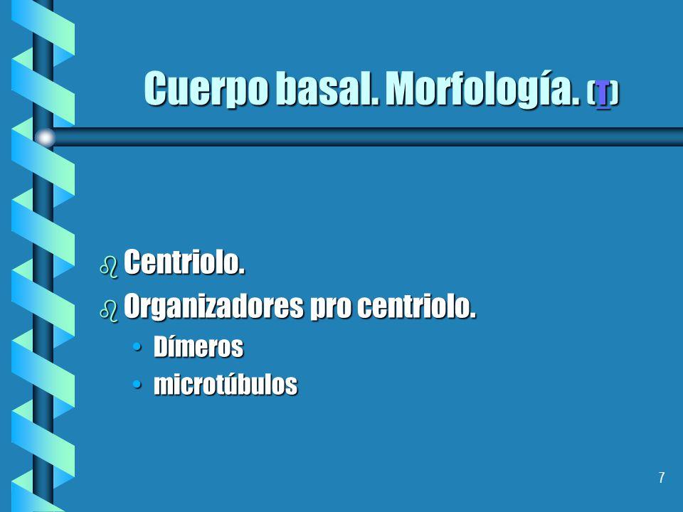 7 Cuerpo basal.Morfología. (T) T b Centriolo. b Organizadores pro centriolo.