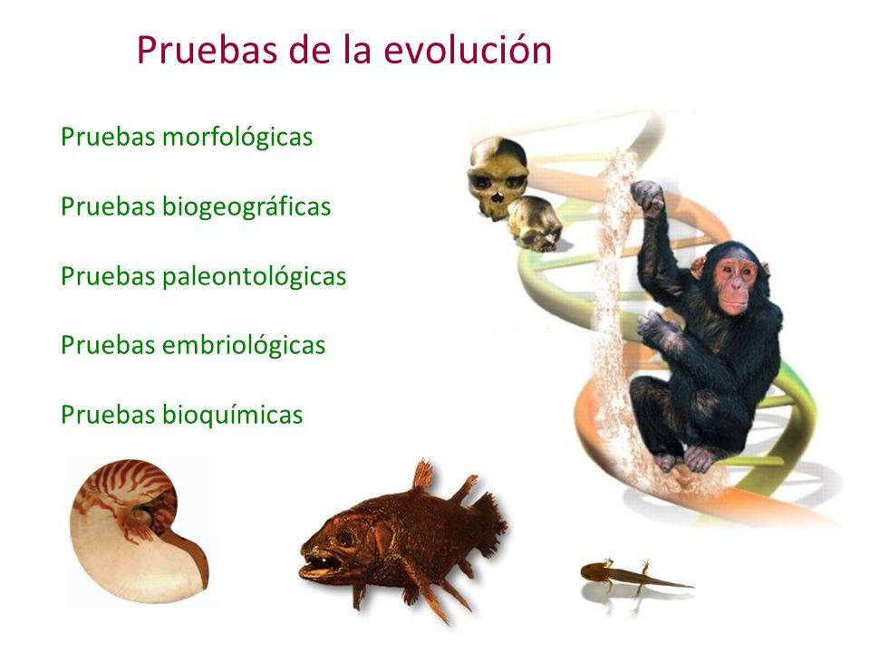 Pruebas de la evolución Pruebas morfológicas Pruebas biogeográficas Pruebas paleontológicas Pruebas embriológicas Pruebas bioquímicas