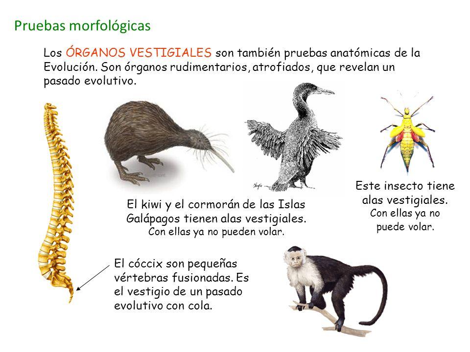 Pruebas morfológicas El kiwi y el cormorán de las Islas Galápagos tienen alas vestigiales. Con ellas ya no pueden volar. El cóccix son pequeñas vérteb