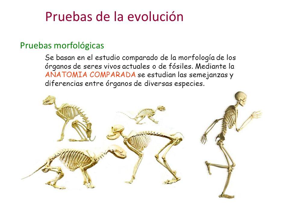 Pruebas morfológicas Observa detenidamente estos dibujos de extremidades anteriores de vertebrados: Todas son diferentes pero tienen un esquema común de organización Ese esquema común de organización se debe a un antepasado común que inventó un esquema básico.