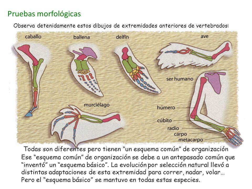 Pruebas morfológicas Observa detenidamente estos dibujos de extremidades anteriores de vertebrados: Estos dibujos muestran ejemplos de ÓRGANOS HOMÓLOGOS