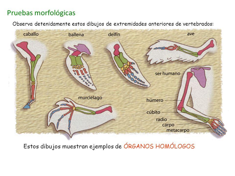 Pruebas morfológicas Observa detenidamente estos dibujos de extremidades anteriores de vertebrados: Estos dibujos muestran ejemplos de ÓRGANOS HOMÓLOG